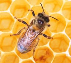 Пчелиный яд против мышечной боли